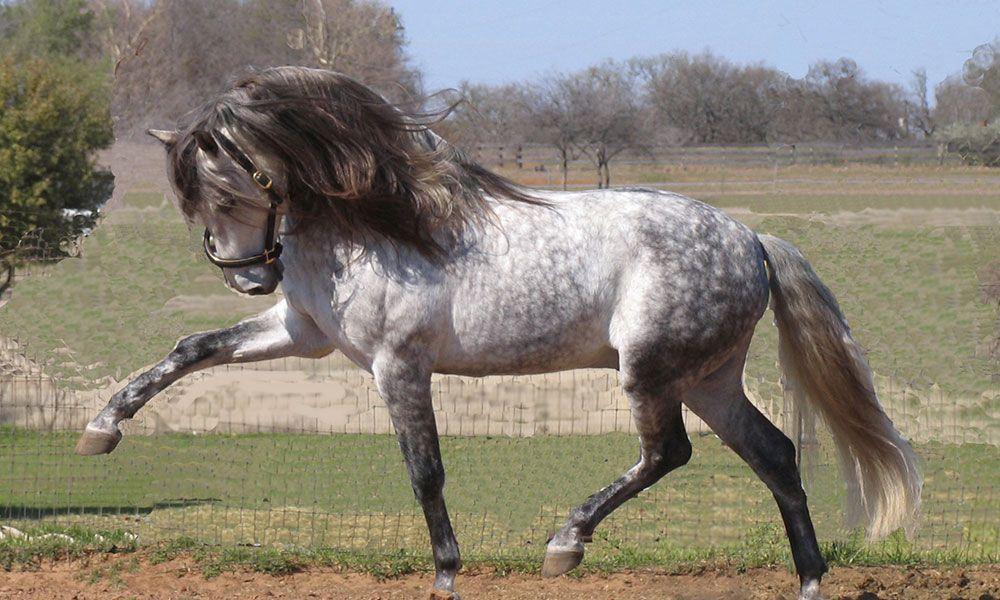 আন্দালুসিয়ান ঘোড়া ( Andalusian Horse )