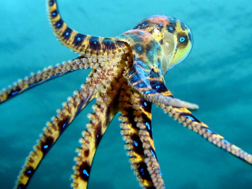 অক্টোপাস octopus