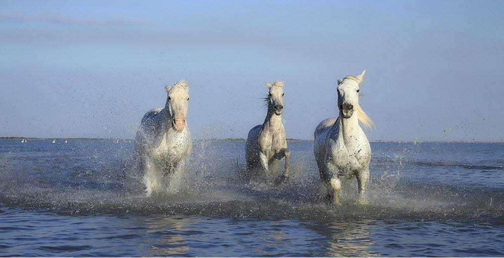 ক্যামেরিলো ঘোড়া ( Camerillo Horse )