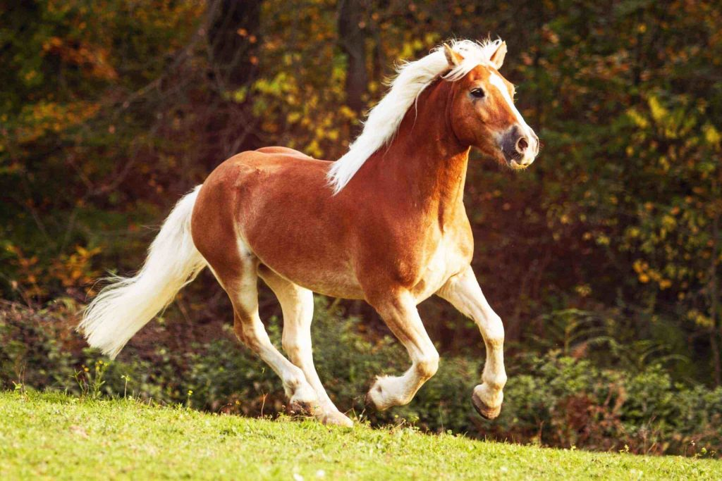 হাফলিঙ্গার ঘোড়া ( Halflinger Horse )