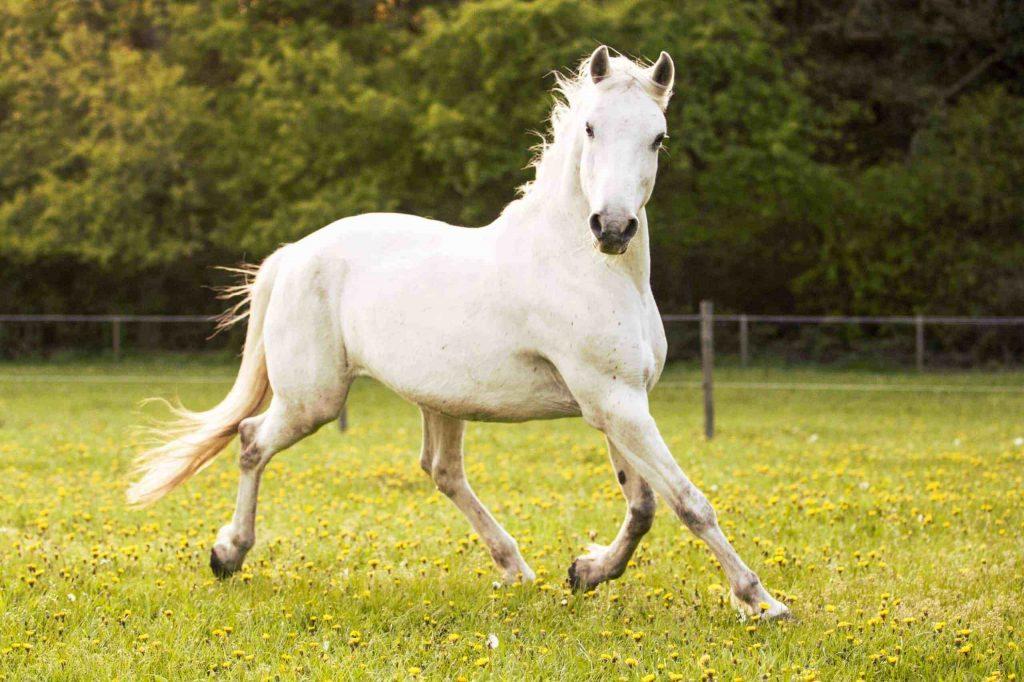 লিপ্পিযান ঘোড়া ( Lipizzan Horse )