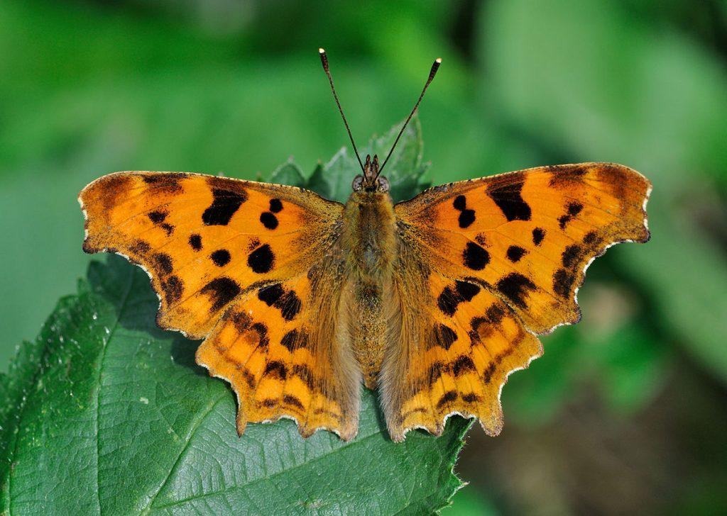 Comma butterfly কমা প্রজাপতি