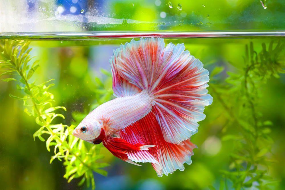 বেটা মাছ (aqurium )