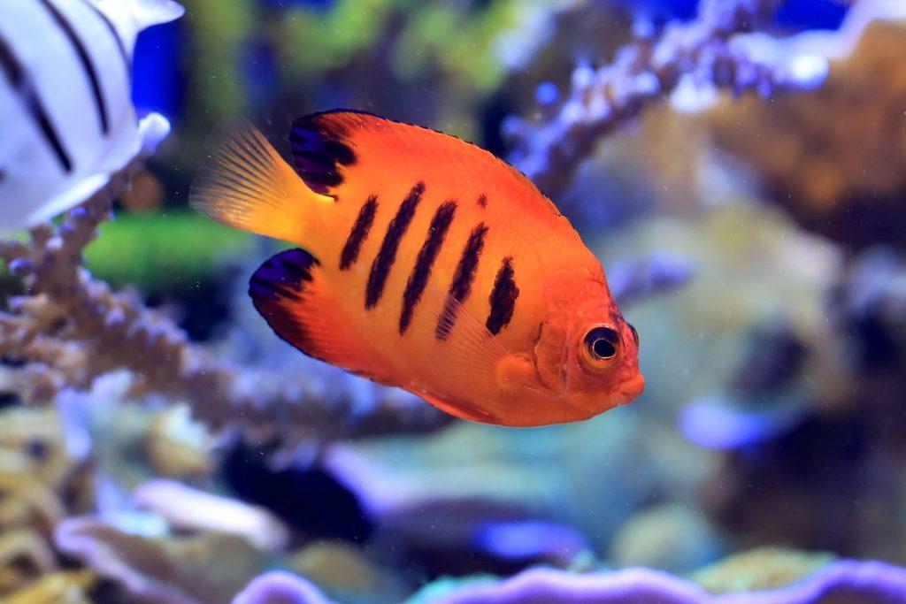 Flame Angel Fish (Nemo )