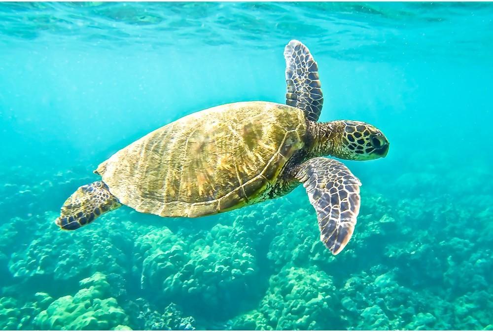 Hawksbill Turtle বাজপাখি কচ্ছপ