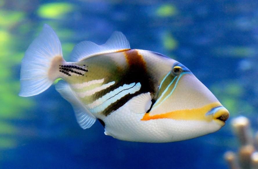 Picaso Trigger Fish