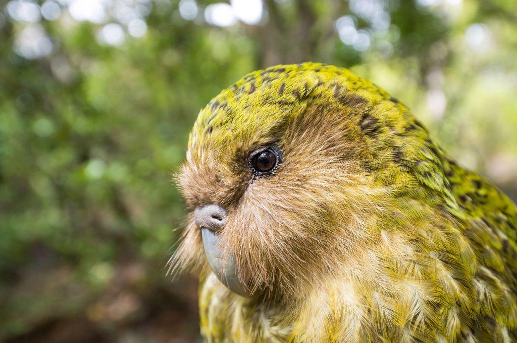 Kakapo কাকাপো