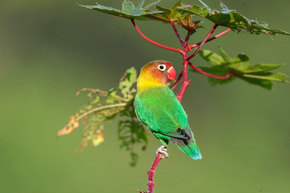 লিলিয়ান্স লাভবার্ড Lilian's Lovebird