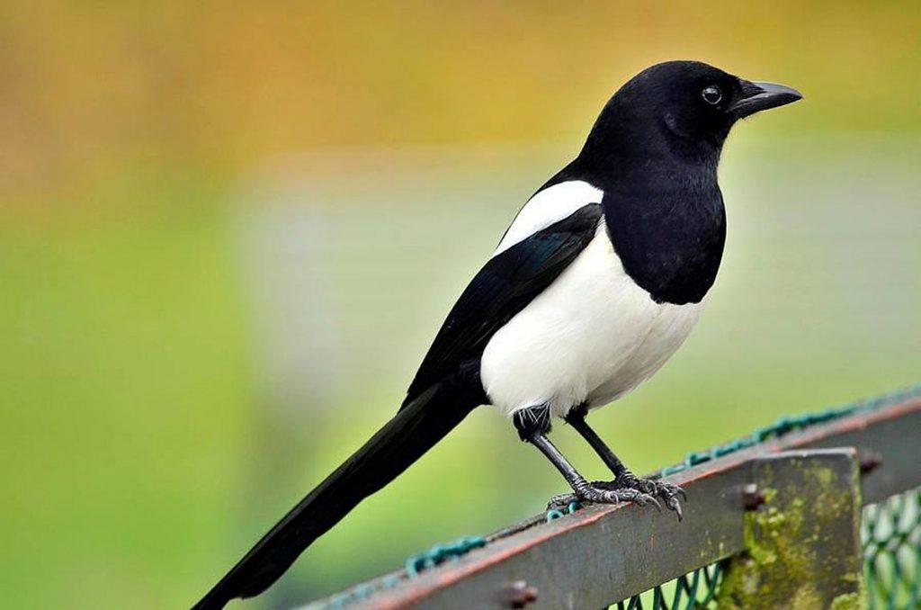 ম্যাগপাই (Magpie)