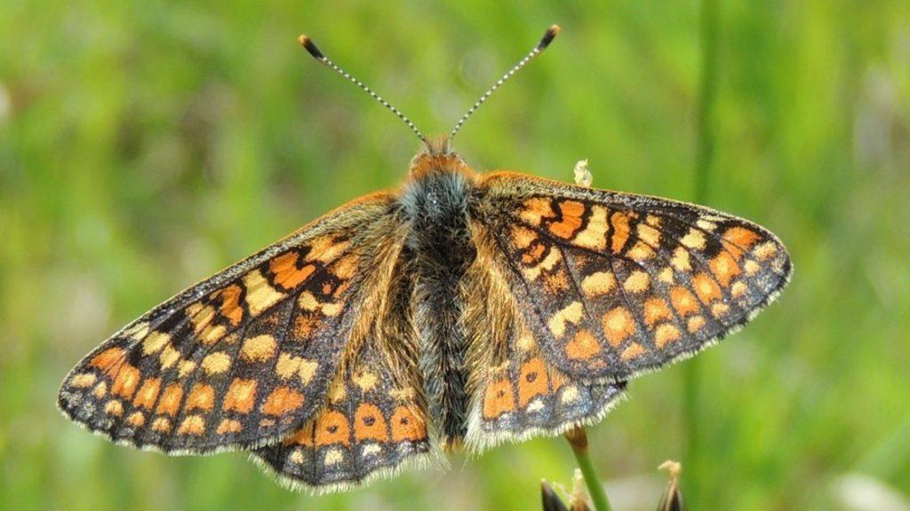 Marsh fritillary Butterflies