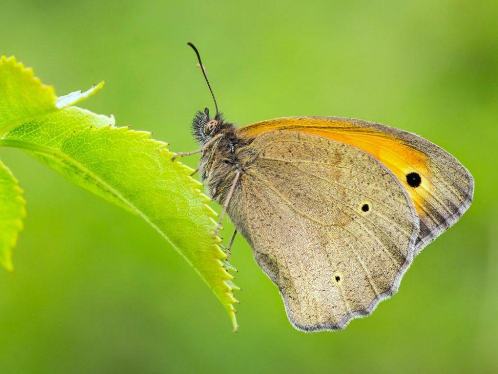 Meadow brown মৃত্তিকা বাদামি প্রজাপতি