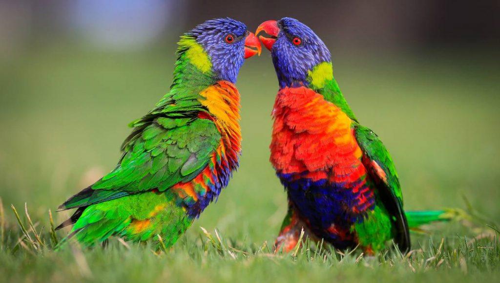 Rainbow Lorikeet রেইনবো লরিকেটস