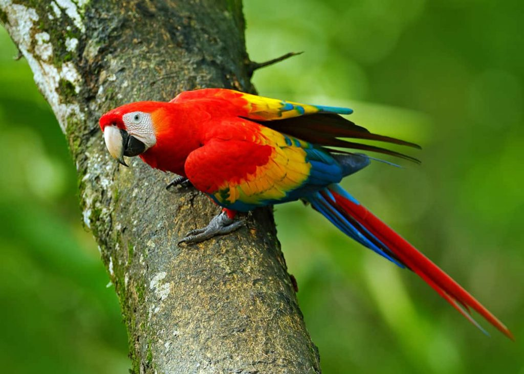Scarlet Macaw স্কারলেট ম্যাকাও