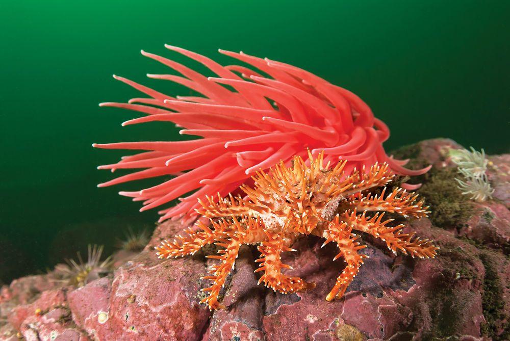 Southern King Crab ( কাঁকড়া )