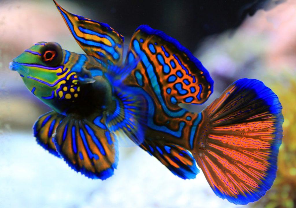 Mandarin Fish ( মাছ )