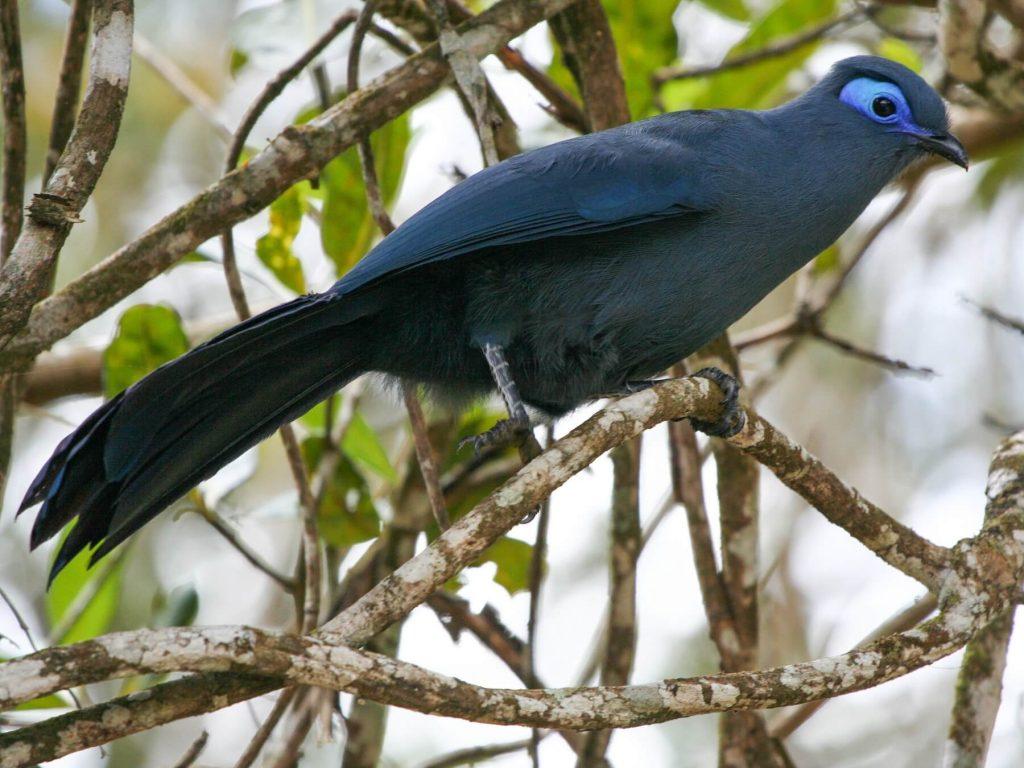 Blue coua