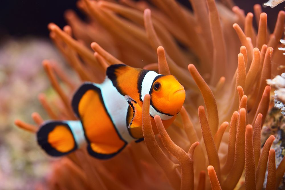 Finding Nemo ( clown fish )