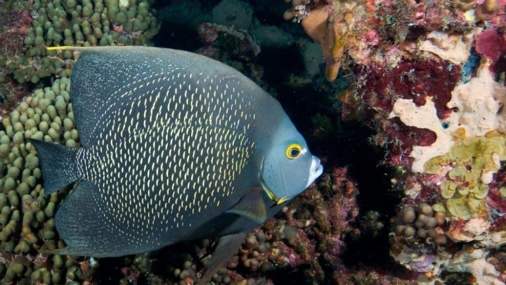 French Angle Fish ( ফ্রেঞ্চ অ্যাঞ্জেল ফিশ ) মাছ