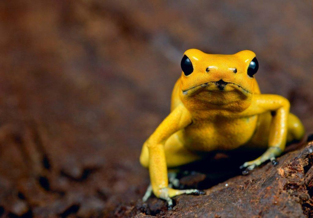 Golden Poison Frog গোল্ডেন পয়জন ব্যাঙ