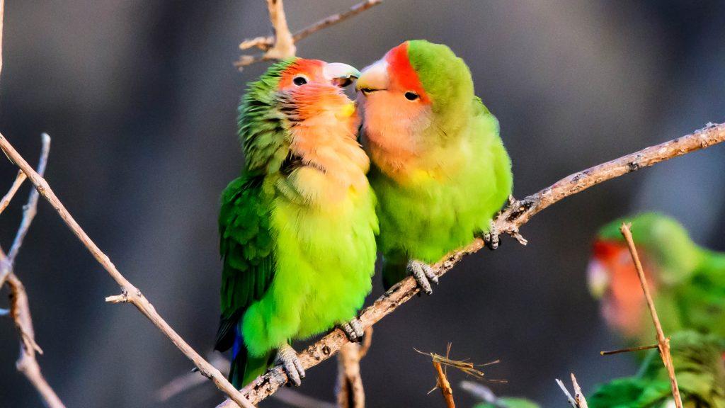 লাভবার্ড (lovebirds)