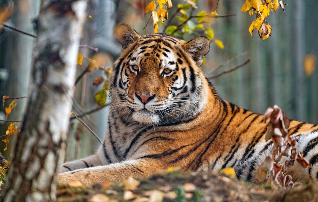 tiger বাঘ