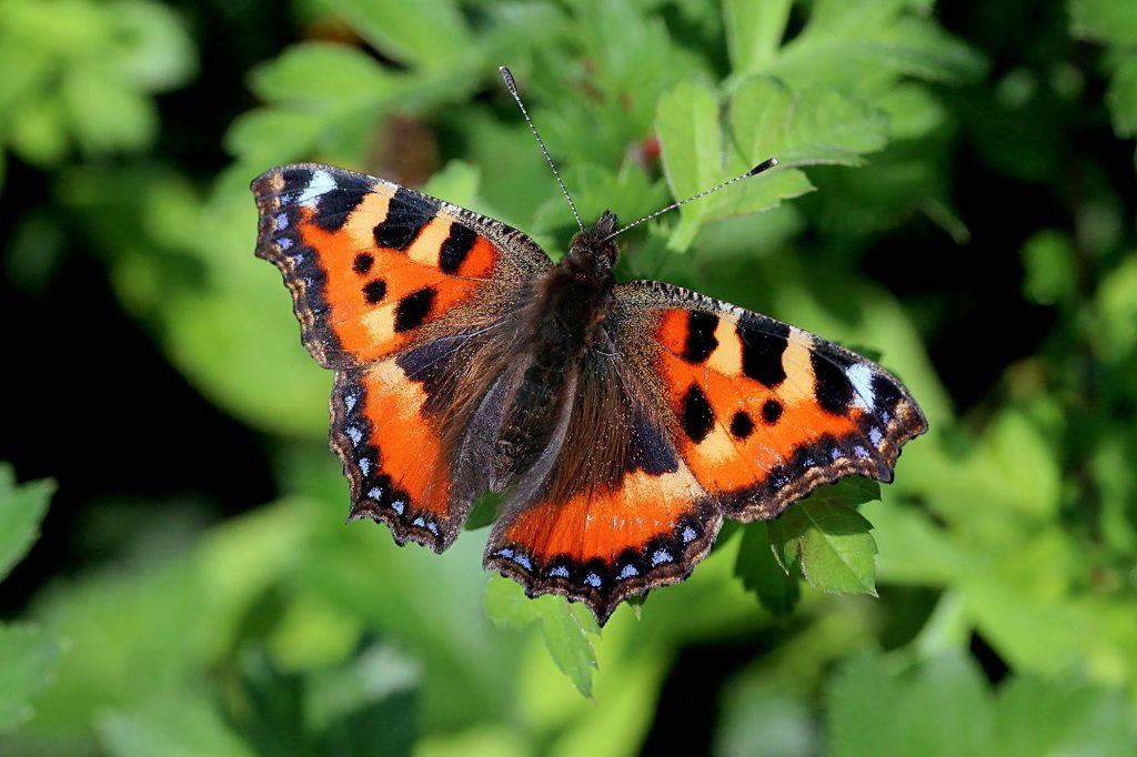ছোট কচ্ছপগুলি প্রজাপতি Small tortoiseshell Butterflies