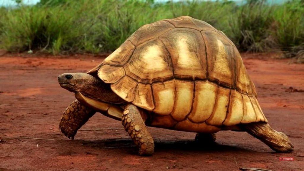 Ploughshare Tortoise ( দ্বীপ )