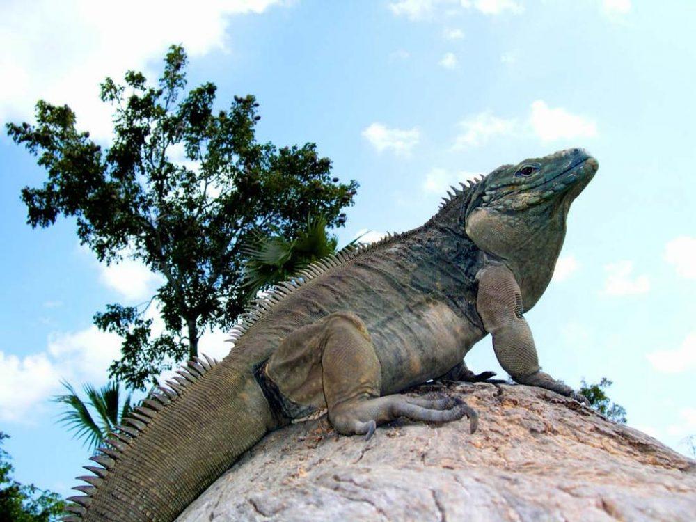 Iguanus