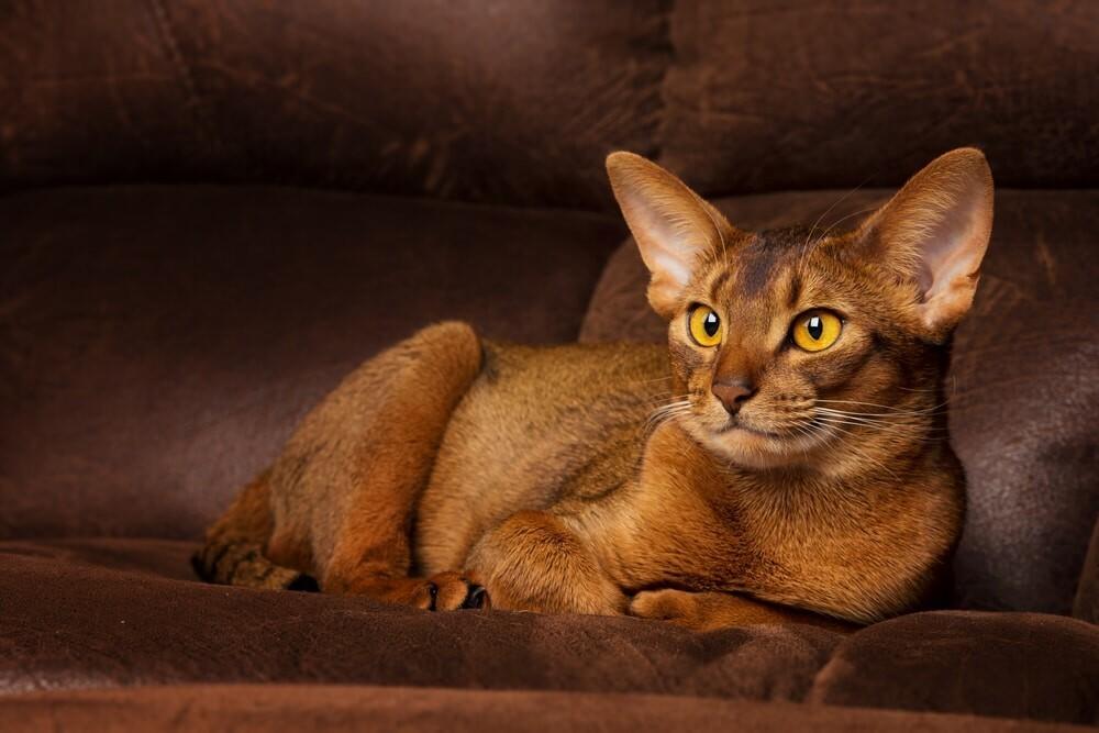 Abyssinian cat আবিসিনিয়ার বিড়াল