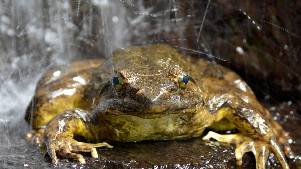 আফ্রিকান পাইক্সি ব্যাঙ African Pyxie Frog