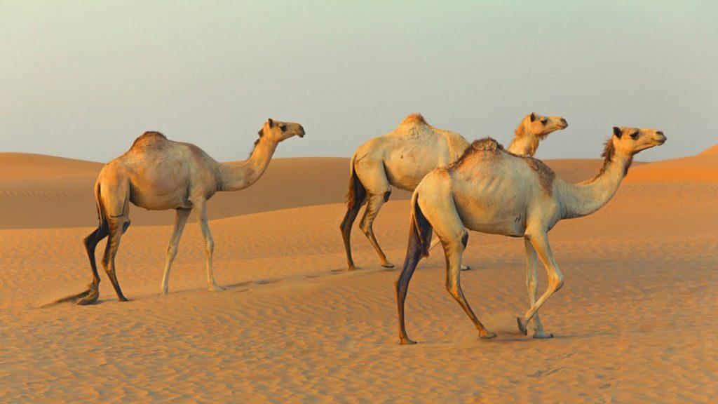 Camels উট