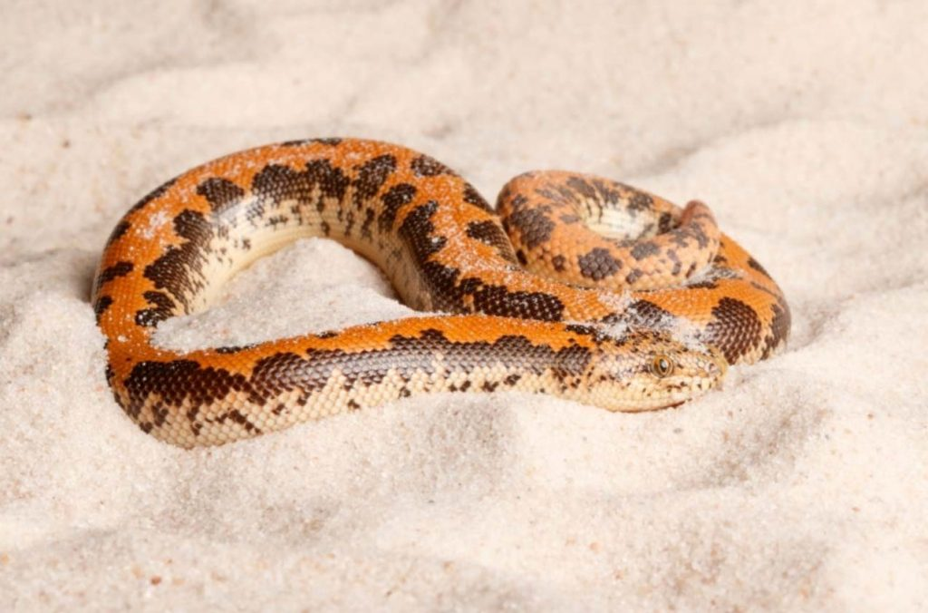 Kenyan Sand Boa snake