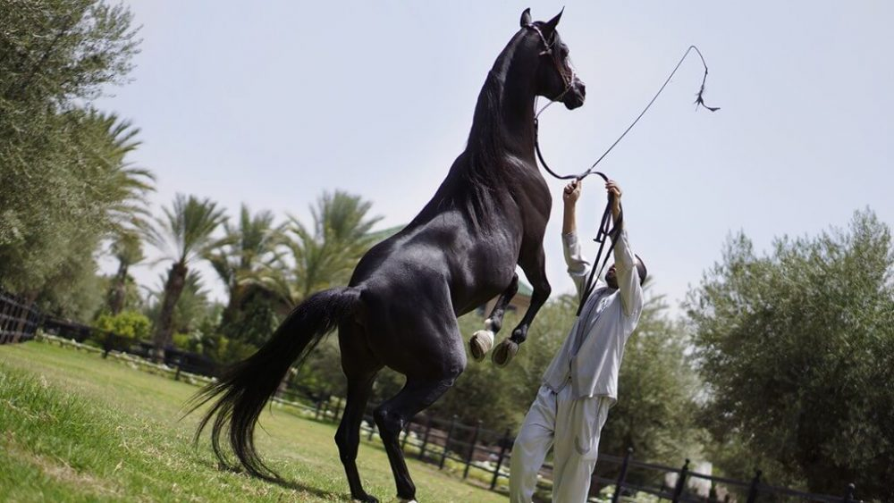 arabian horse ঘোড়া