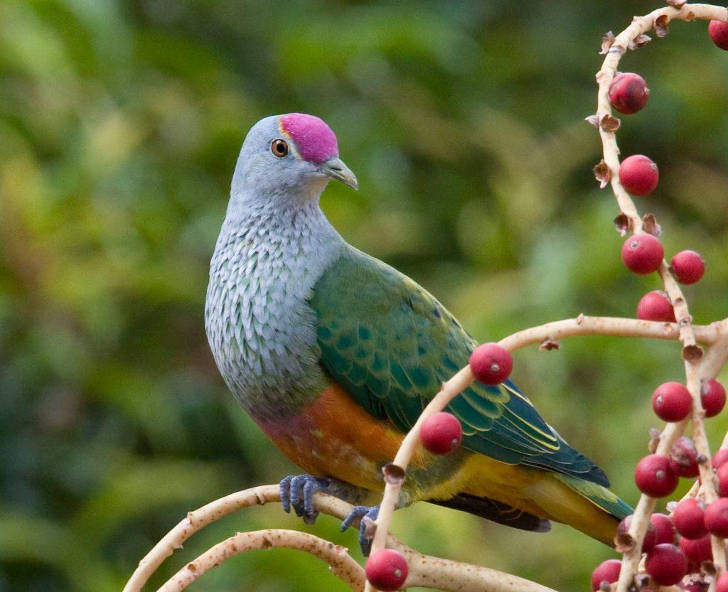 পিঙ্ক-নেকেড গ্রীন কবুতর Pink-Necked Green Pigeon
