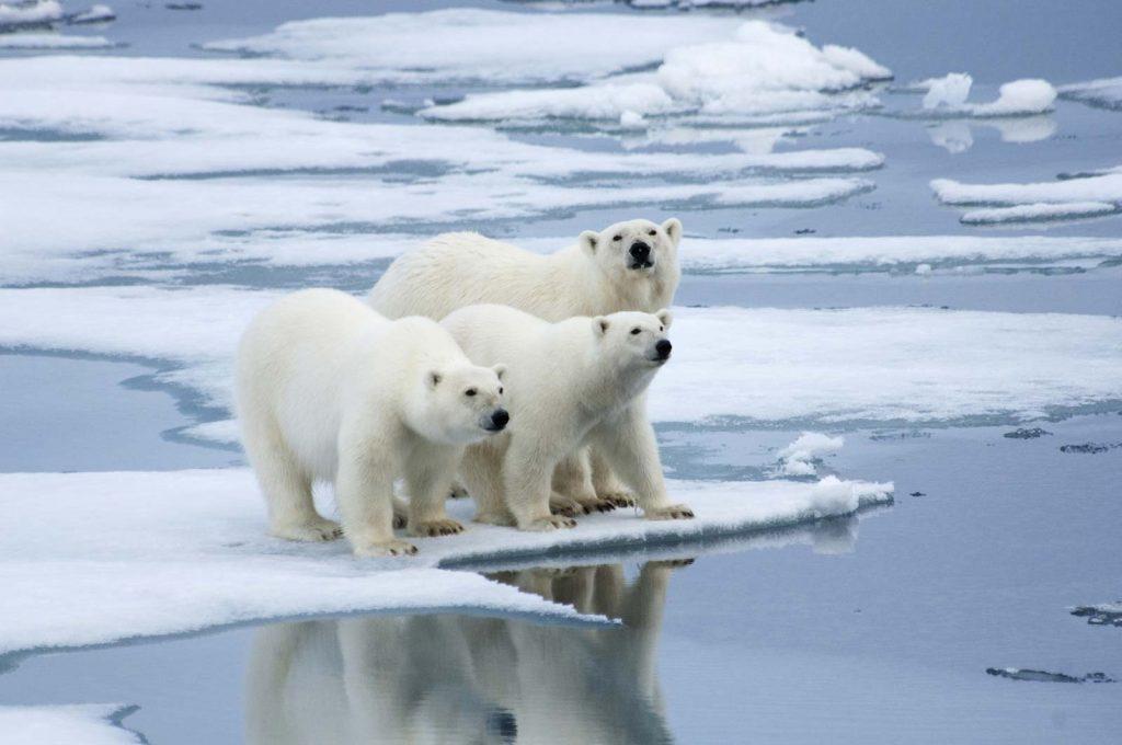 polar bear of artic area
