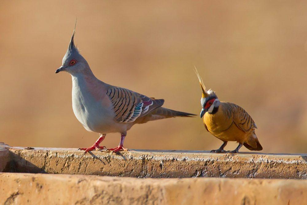 Spinifex Pigeon স্পিনিফেক্স কবুতর