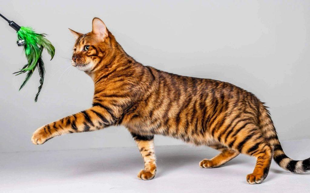 Toyger cat টয়গার বিড়াল