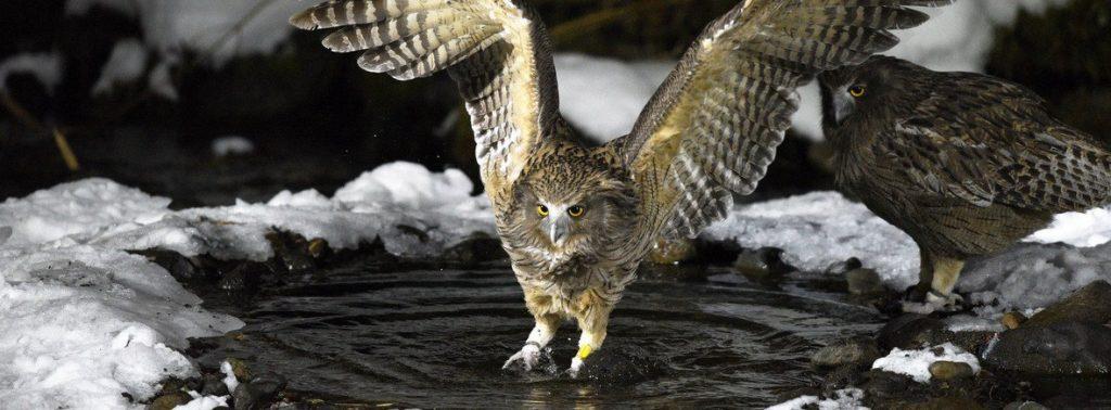 BLAKISTON'S FISH OWL ( পেঁচা )