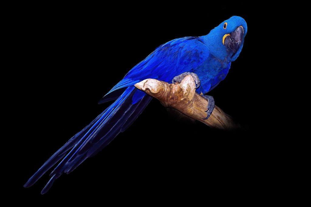macau bird পোষা পাখি