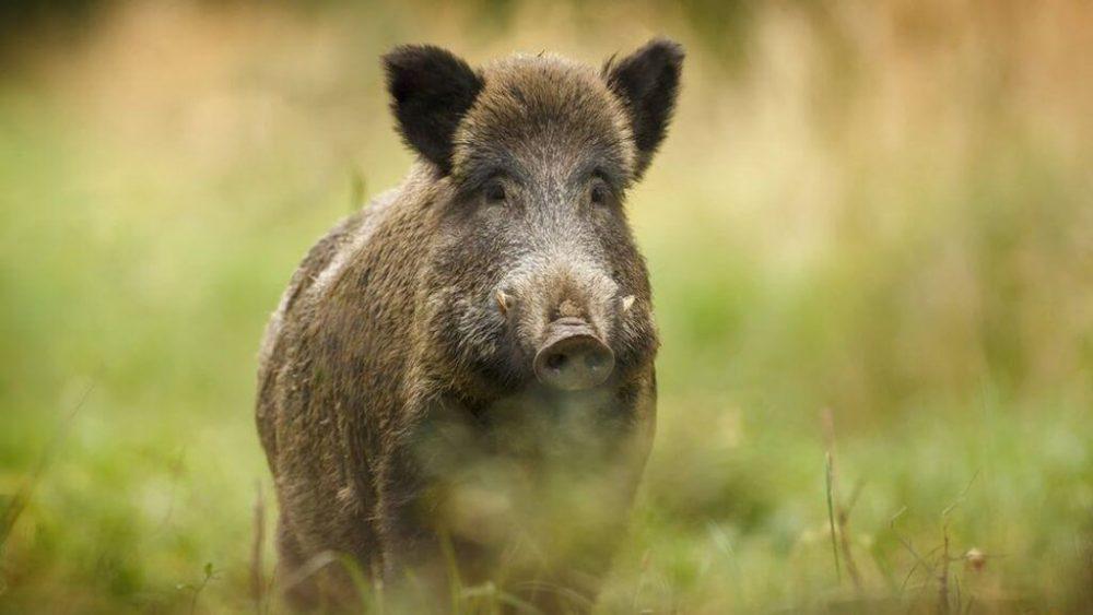 wild Boar শুকর