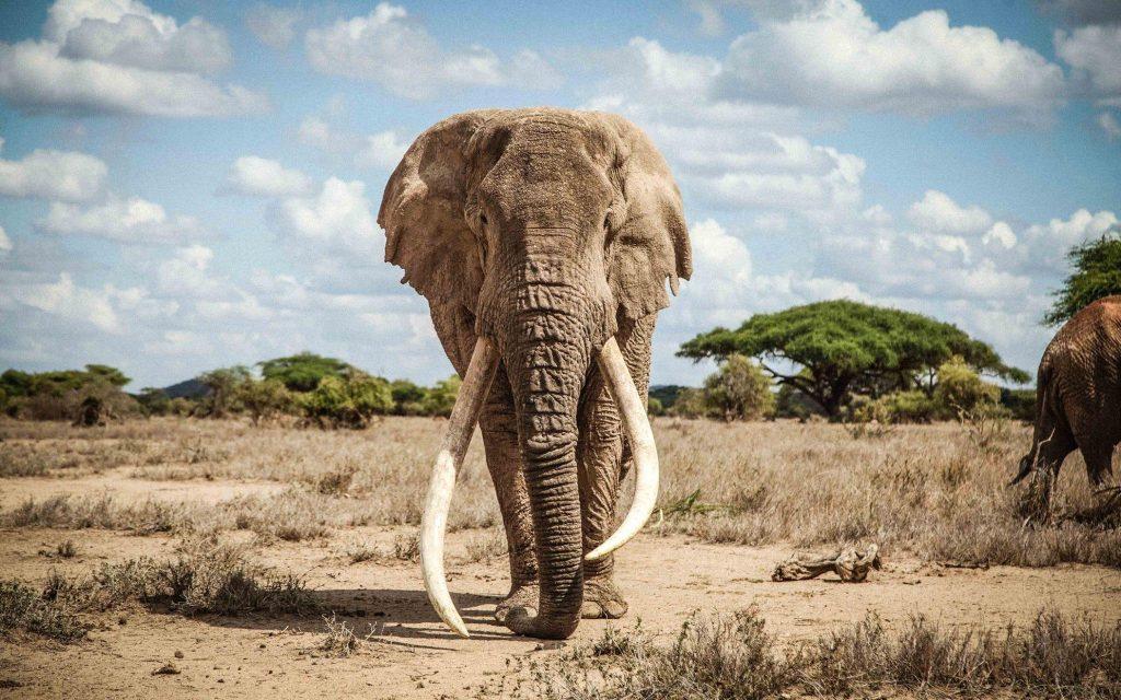 Africa's largest elephant