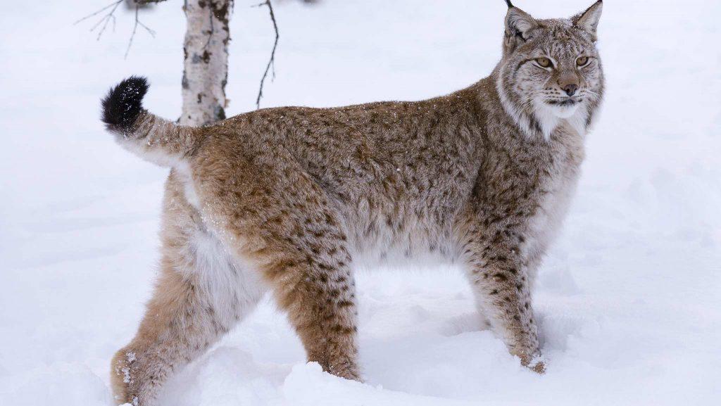 Eurasian Lynx বিড়াল