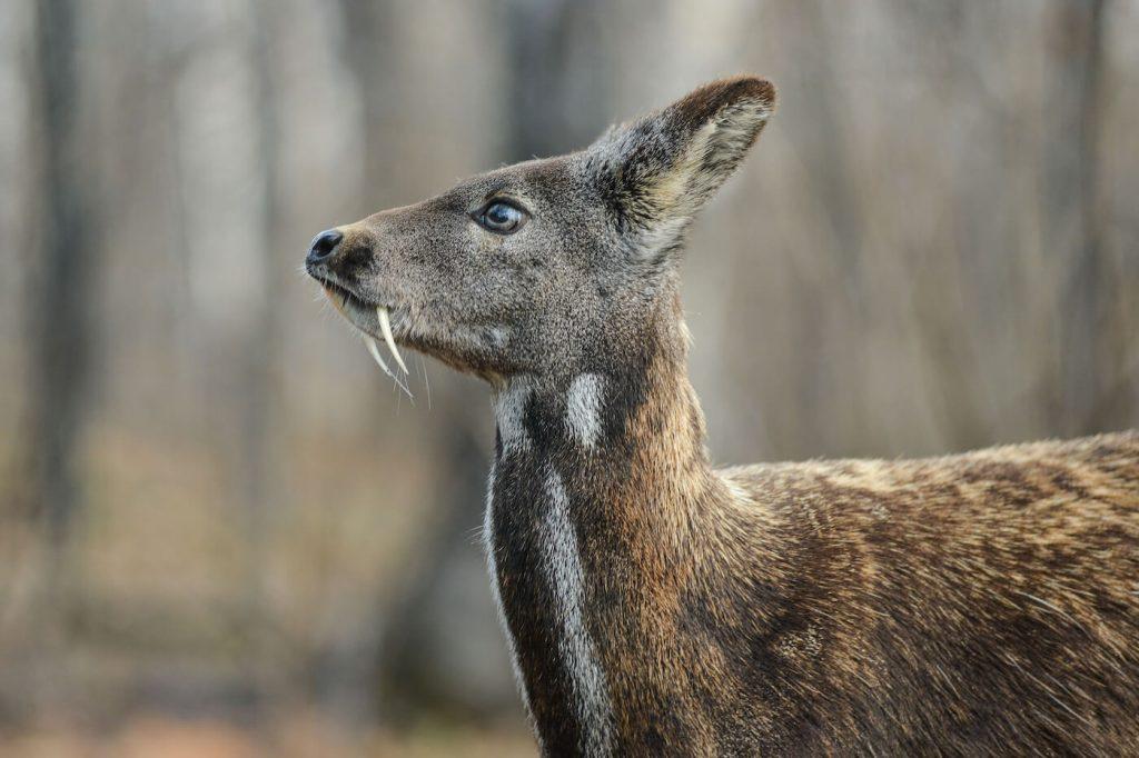 Musk Deer (সাইবেরিয়ার প্রাণী)