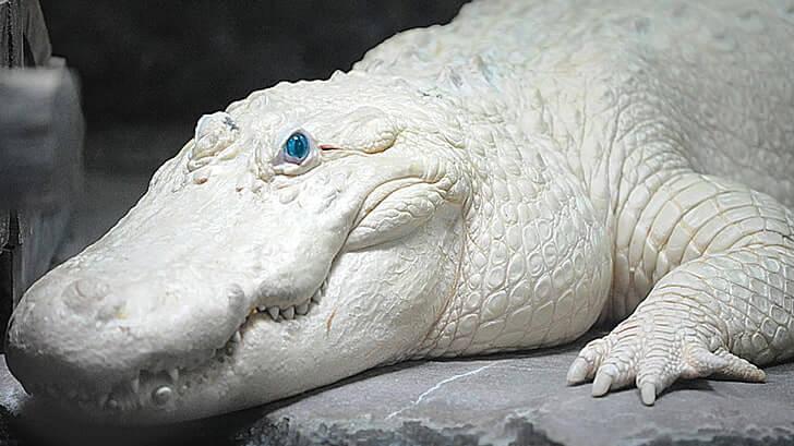 white crocodile কুমির