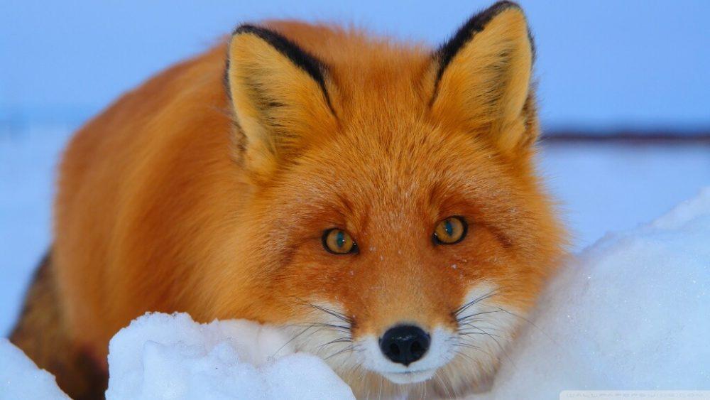 Fox শিয়াল ( সার্বিয়ার প্রাণী )