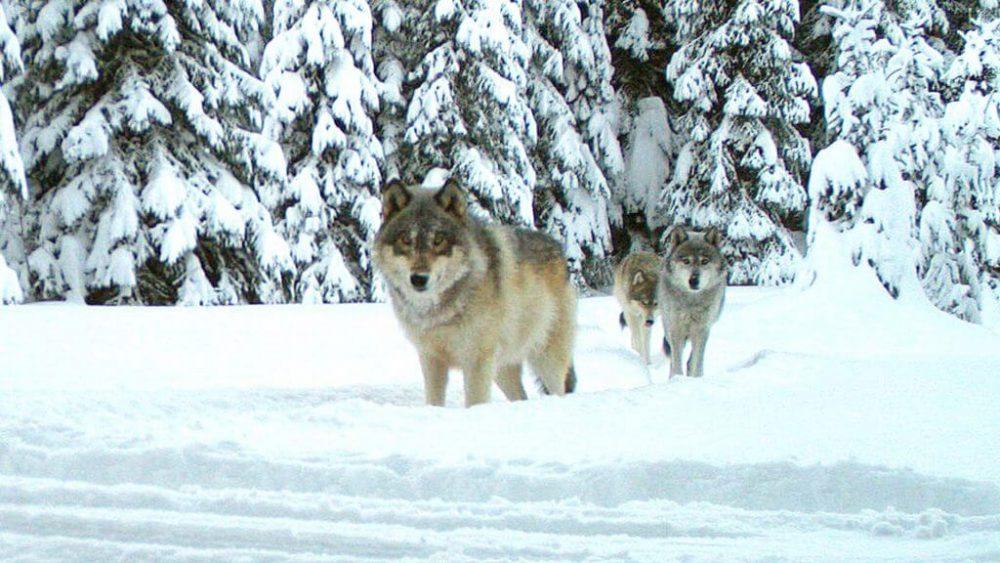 wolf নেকড়ে