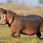 জলহস্তী hippopotamus