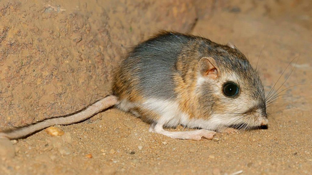 kangaroo rat প্রচন্ড গরম