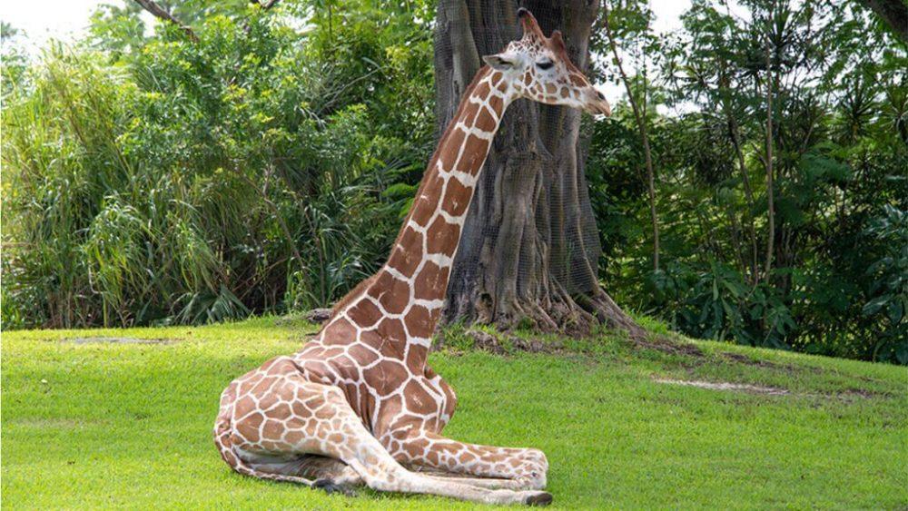 Giraff জিরাফ