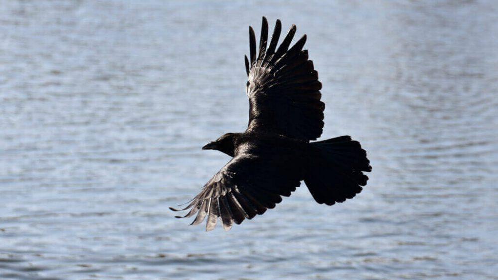 Raven birds, Avengers